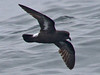 Storm Petrel, Scilly pelagic, 11-Aug-12 by Dave Appleton