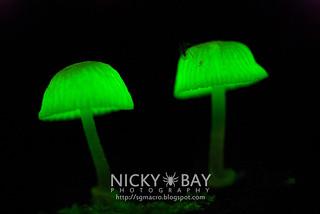Bioluminescent Fungi - DSC_5655
