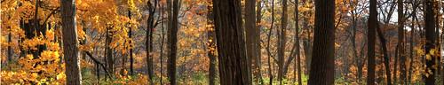 autumn trees light ohio panorama sunlight fall forest woodland moving woods wind cincinnati pano twinkle trunks backlighting sharonwoods distanthill beginnerdigitalphotographychallengewinner
