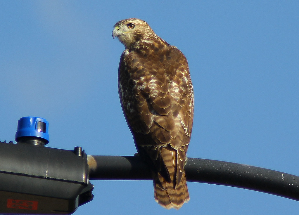 Red Tailed Hawk High Point North Carolina I Took This A Flickr