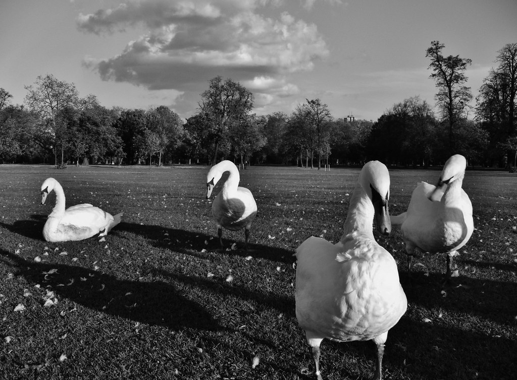 Swans hyde park