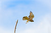 In flight * Grey - faced Buzzard Eagle by Okinawa Nature Photography