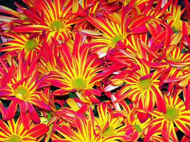 Colorful Daisies - C95-10-10-12DSCN4822_6880
