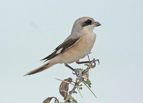Lesser Grey Shrike (Lanius minor)   by sussexbirder