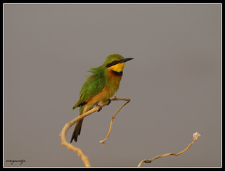 Little Bee-eater / Guêpier nain | by julie.dewilde