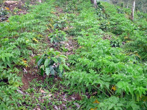 Colombia - Rio Abajo, Urrao - Emilio Sepulveda - Café and Arracacha - April 2012   by treesftf