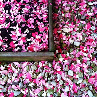 The fallen leaves in front of my condo look like rose petals. | by Sholeh