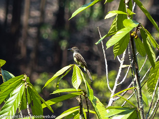 Dusky-capped or Short-crested Flycatcher | by xrxss15