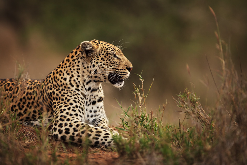 Leopard on the Mound