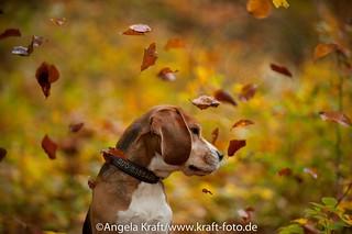 Angela Kraft26102012 Beagle 5 | by Angela Kraft