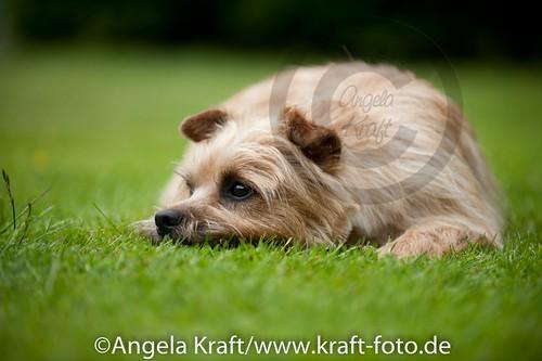 Angela Kraft 15062012 Cairn Terrier 4   by Angela Kraft
