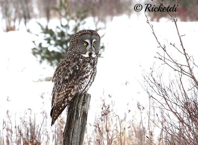 chouette lapone- great gray owl- strix nebulosa