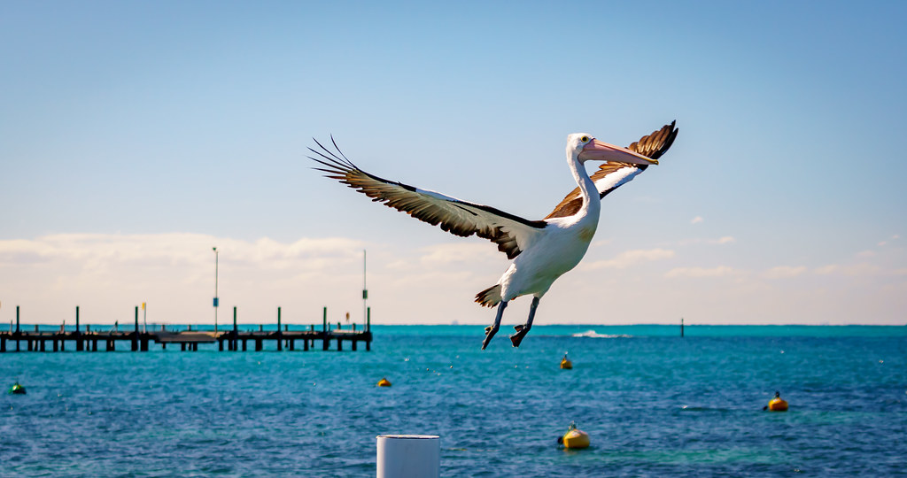 Australian Pelican taking off
