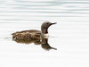 Red-throated Loon (Gavia stellata) by David Cook Wildlife Photography