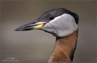 Red-necked Grebe Portrait | by www.jessfindlay.com
