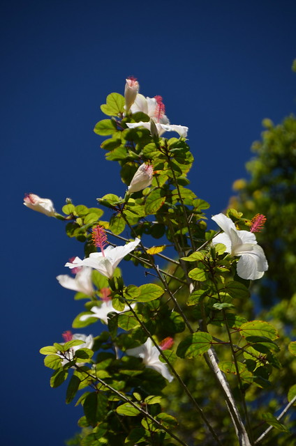 White Hibiscus (DSC_3673)