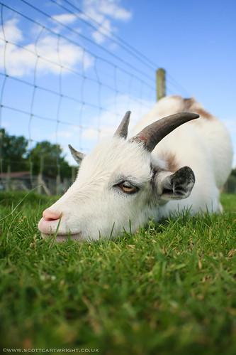 Lazy Goat