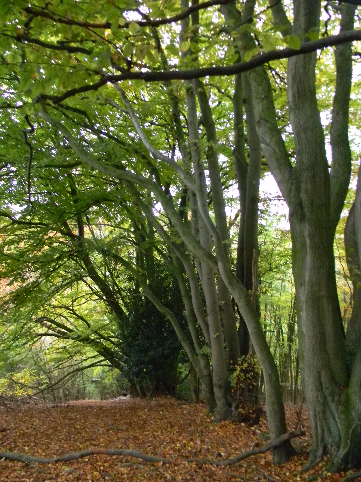 Taking a salute Monkton Wood. Princes Risborough to Great Missenden