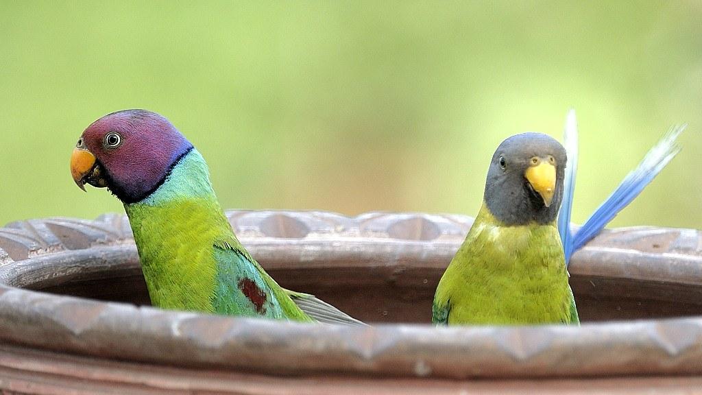 Plum Headed Parakeet, male and female | prerna jain | Flickr