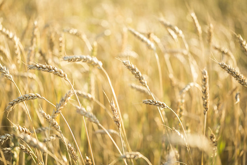 grass plant wheat cereal grain agriculture farming bokeh nature biology