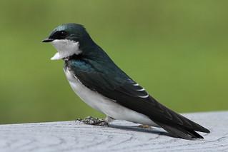 Tree Swallow (Tachycineta bicolor) | by Jim, the Photographer