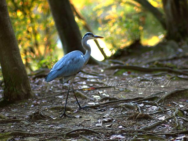 heron the walking