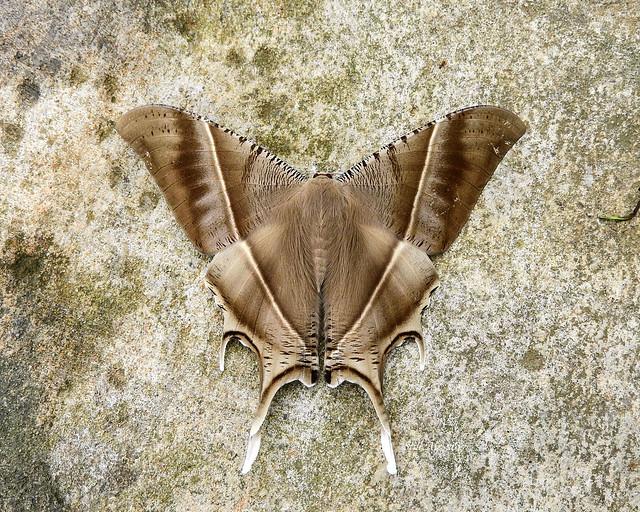 Lyssa zampa (Tropical Swallowtail Moth) (M00003)