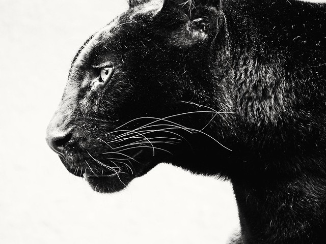panthere noir