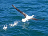 Southern Royal Albatross (Diomedea epomophora) by Francisco Piedrahita