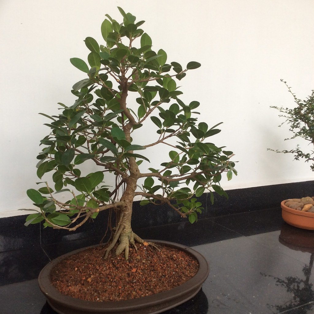 Ficus retusa informal upright style eight years old under training in a flat oval shaped Chinese pot. -