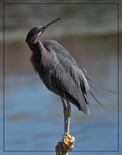 A perfect day to get the Blues!  Little Blue Heron!