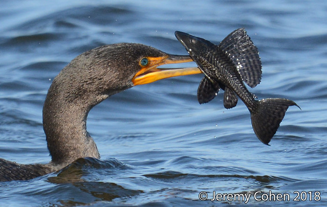 Double crested cormorant eating an armored catfish