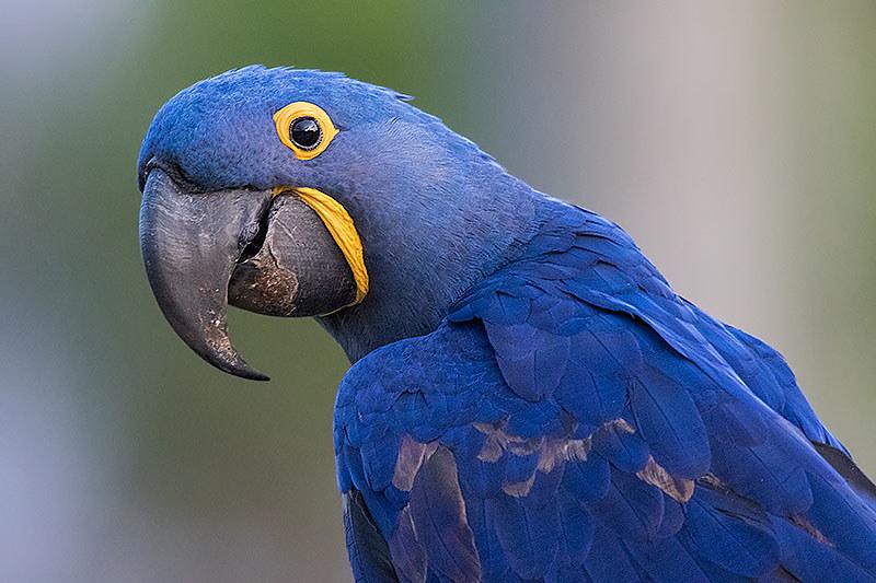 Arara Azul Grande (Anodorhynchus hyacinthinus) - Hyacinth … | Flickr