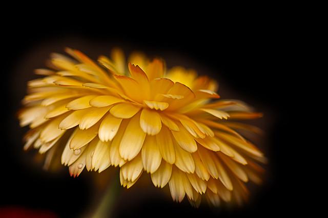 51 of 100 - Marigold