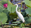 Intermediate Egret (Ardea intermedia) by Geoff Whalan
