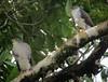 Accipiter superciliosus / Azor diminuto / Tiny Hawk (female and male) by felixú