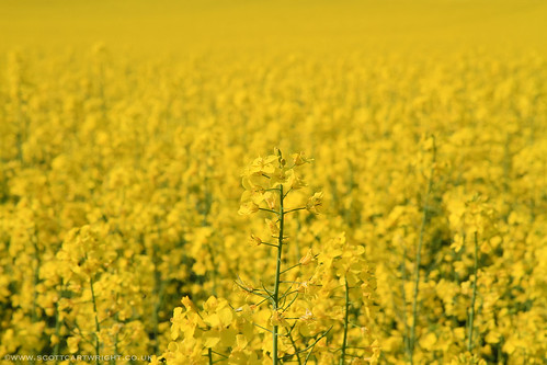 Yellow Rapeseed Plant