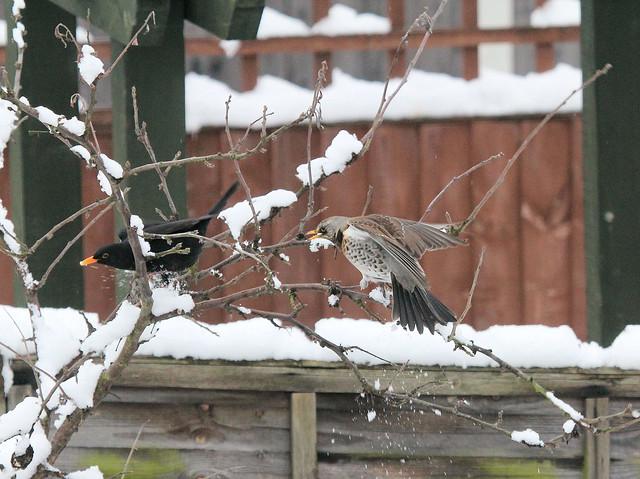 Fieldfare and Blackbird