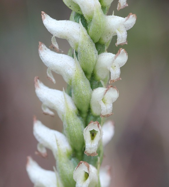 Hooded Lady's Tresses Orchid