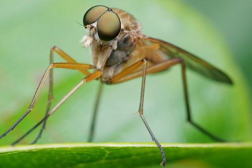 pentax k3 pentaxdfa100mmf28macro raynox dcr250 insect bug montréal québec jardinbotanique botanicalgarden fly diptera mouche marshsnipefly rhagionidae rhagiotringarius compoundeyes topf25 pentaxart