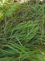 日, 2012-09-23 15:26 - Sweet Grass  かごを編んだり、ウォッカの香り付けに使われる