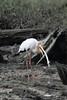 Milky Stork with Prey by myrontay