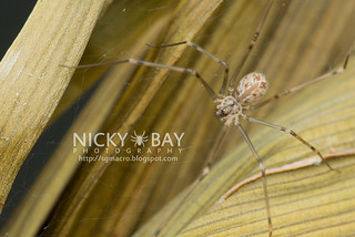 Cellar Spider (Physocyclus globosus) - DSC_8389