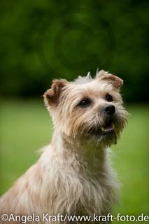 Angela Kraft 15062012 Cairn Terrier 7 | by Angela Kraft