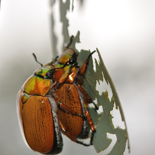 Christmas beetles (Anoplognathus sp.) | by John from Canberra