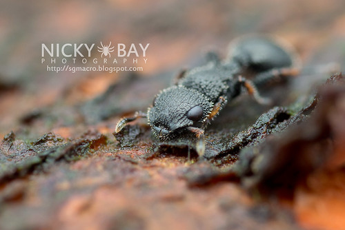 Armored Ant (Cataulacus sp.) - DSC_5056 | by nickybay