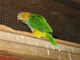 White-bellied caique (2nd of 2 photos)