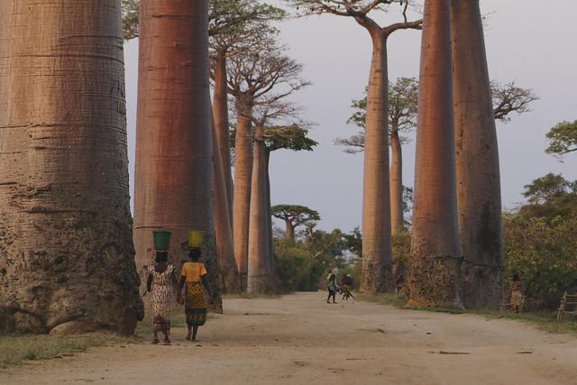 L'allée au Baobab