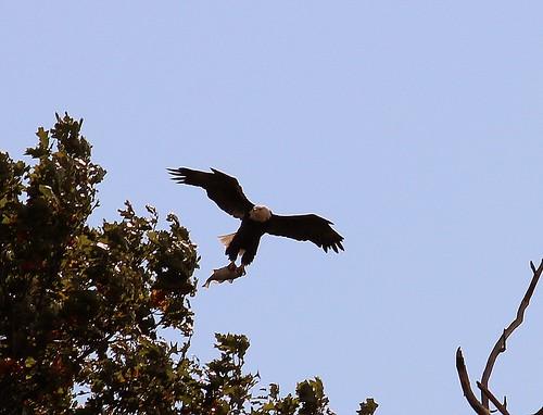 fish eagle baldeagle mississippiriver americanbaldeagle eastdubuque eastdubuqueillinois eaglecatchesfish