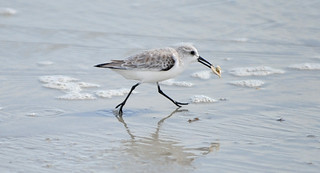 Sanderling (Calidris alba) running with food | by warriorwoman531